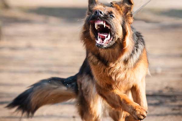 Schäferhund zeigt Aggressionsverhalten